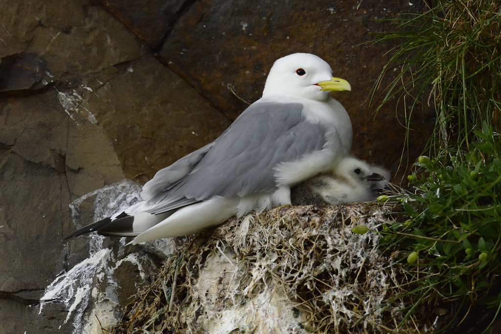 Larus glaucoides, Iceland gull  DSC3252