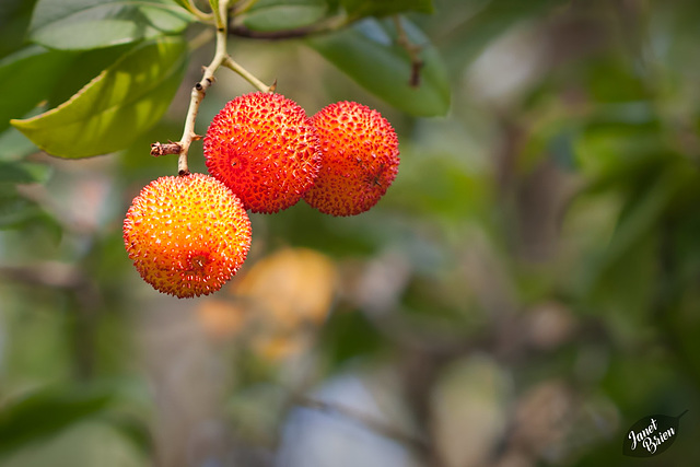 Pictures for Pam, Day 61: Strawberry Tree Berries
