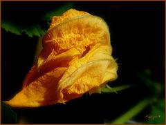 Fleur de courge  ............Bonne semaine à tous