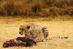 Gepard with its meal