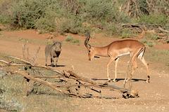 Namibia, Male Impala and Warthog in the Erindi Game Reserve