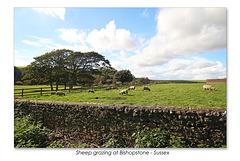 Sheep grazing at Bishopstone - Sussex -  18 9 2015