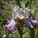 Iris Picadilly Circus
