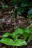 Liparis liliifolia (Lily-leaf Twayblade orchid)