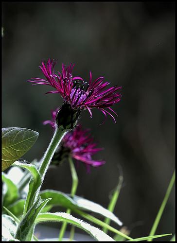 Centaurea montana Jordy (2)