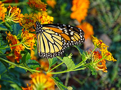 Monarch (Danaus plexippus)(m) ~ In Golden Light ~