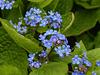 Siberian Bugloss / Brunnera macrophylla