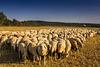 Neugierige Schafe