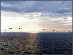 Southbound Pelicans at Dusk