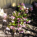 Christrose - Helleborus rosa