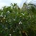 Polynésie Française, Bora Bora, White Flowers of Plumeria (Frangipani)