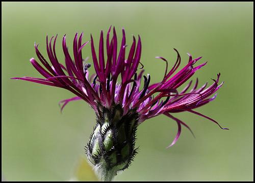 Centaurea montana 'Jordy