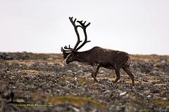 Reindeer Project 7/7; Slow Way Up