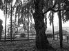 Old cherry tree on a rainy day