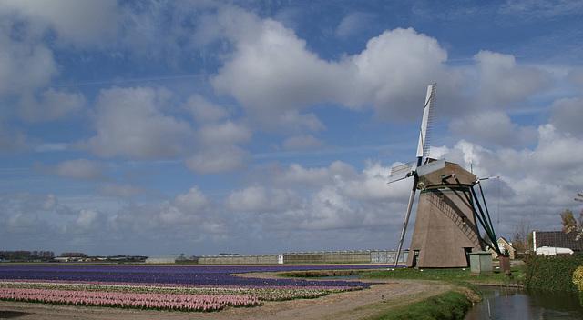 Hyazinthenfeld mit Windmühle