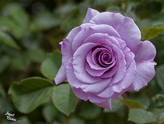 355/366: Luscious Lilac Rose
