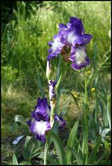 Iris Rococo