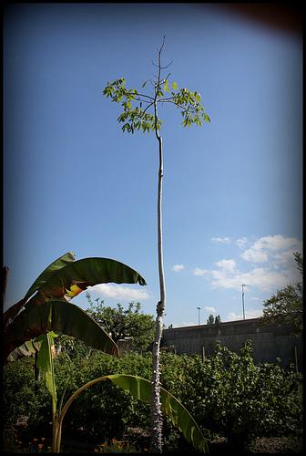 Ceiba speciosa (1)