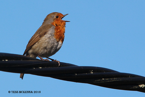 Eurasian Robin singing his heart out.  008