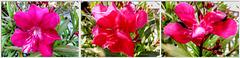 Collage Oleander. ©UdoSm
