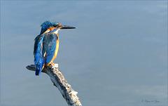 Common kingfisher ~ IJsvogel (Alcedo atthis)...