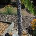 Ceiba speciosa  (3)