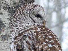 01 Barred Owl