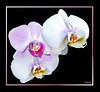 White and/or pink Orchids... ? ©UdoSm