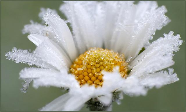 Frosty Daisy...
