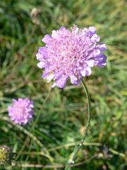 lila Blümchen