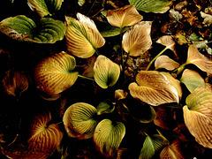 Autumn hosta