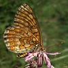 Damier des marais (Euphydryas aurinia)