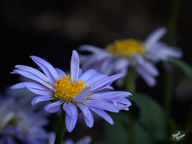 241/366: Lovely Blue Asters