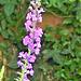 The purple loosestrife grows in abundance