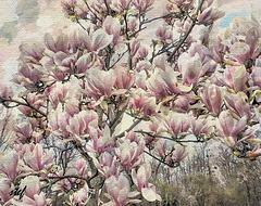 Magnolias for ever (1PiP)