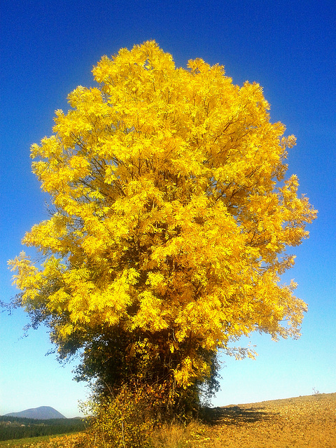 Autumnal yellow leaves