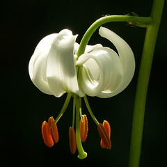 Lilium martagon - the beauty of a Lily