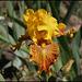Iris Ruée vers l'Or (2)