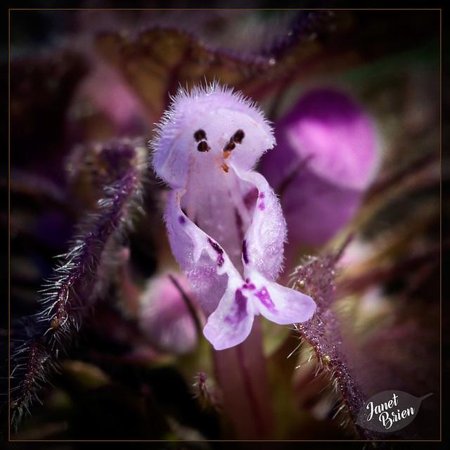 322/366: Deadnettle Blossom