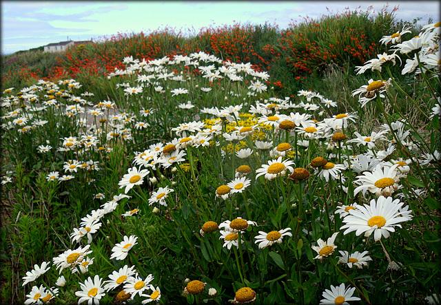 Shasta daisies and montbretia at St Agnes Head