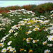 Shasta daisies and montbretia at St Agnes Head