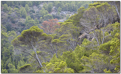 The Wonders of Mallorca: Trees of the Mediterranean