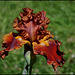 Iris Rustler (1)