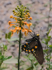 Platanthera ciliaris (Yellow Fringed orchid) pollinated by Battus philenor (Pipevine Swallowtail butterfly)