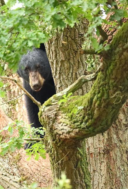 ours dans arbre