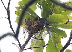 Yellow-Billed Cardinal Nest