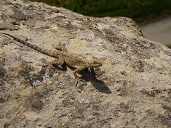 Brown lizard.