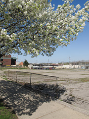 A flowering Callery pear goes out over a landscape.
