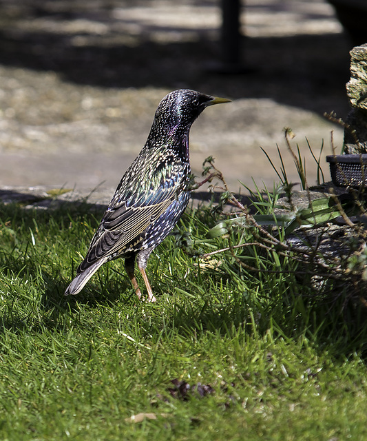 A Starling in Springtime