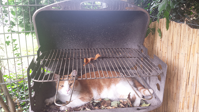 Barbecue-Cat